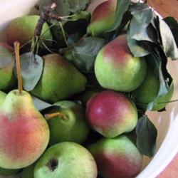 Minnesota pears
