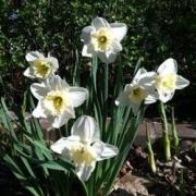 whitedaffodils